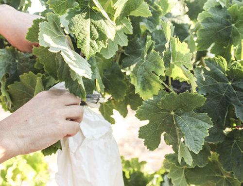 Season of grapes in La Viña and its bagging.