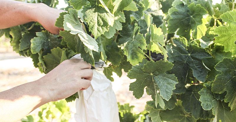 Recogida uva Finca La Viña